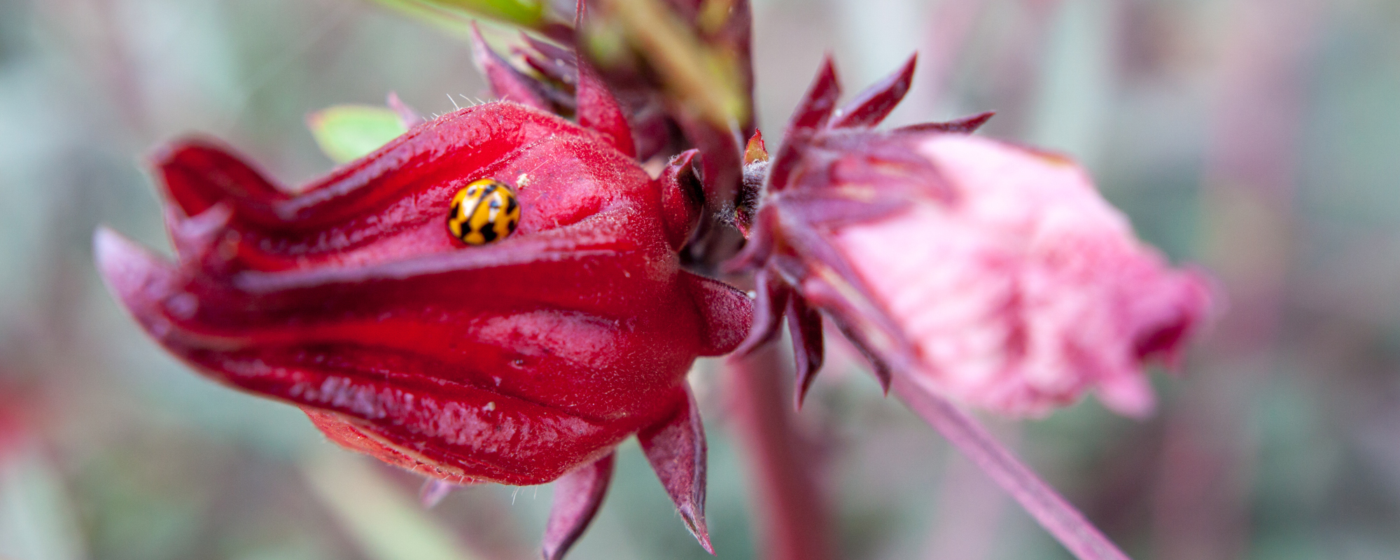 rosella-flower-bug